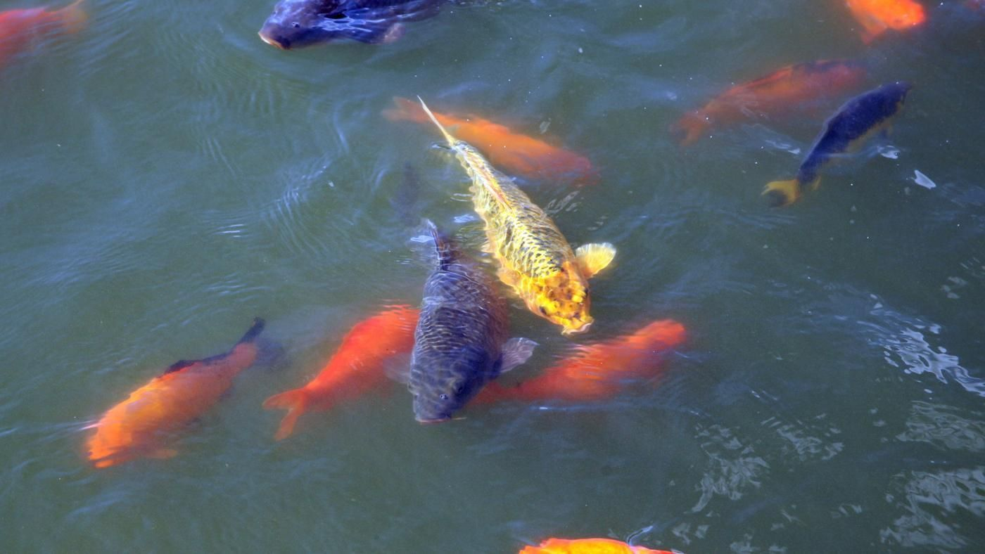 What do pond fish eat for What can fish eat