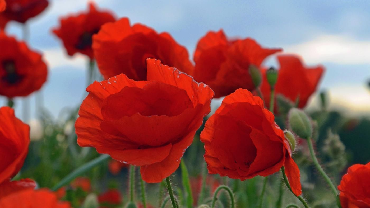 What Does The Poppy Symbolize Reference