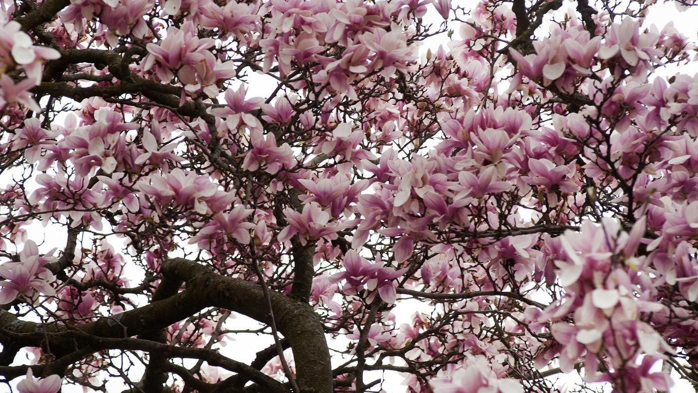 What Prevents Magnolia Trees From Blooming Reference