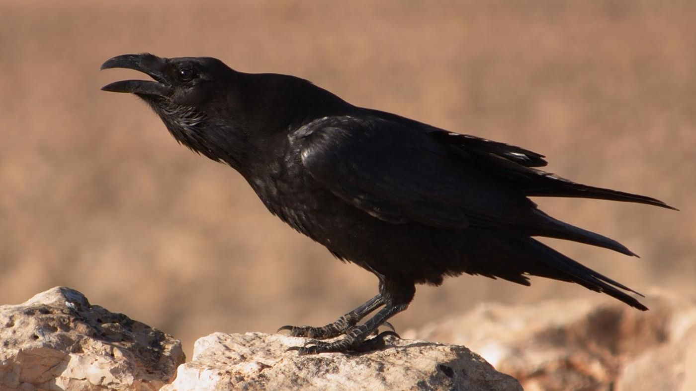 What does the raven symbolize reference buycottarizona