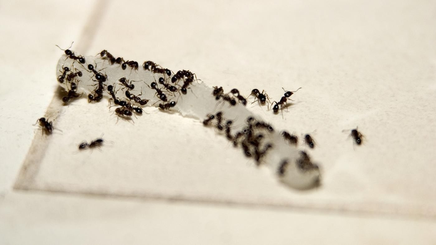 how to get rid off big black ants