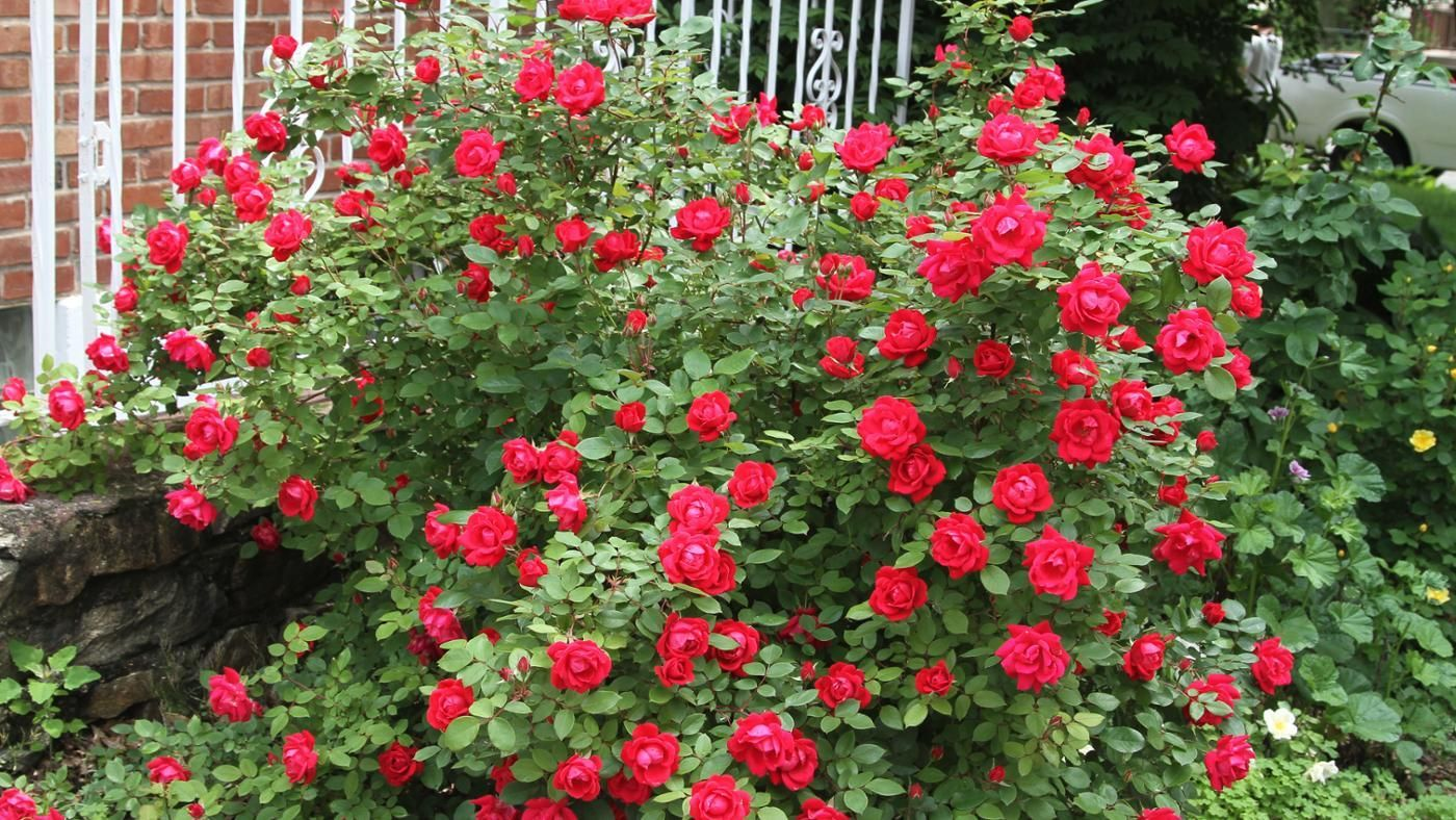 When Should You Fertilize Knockout Roses Reference Com