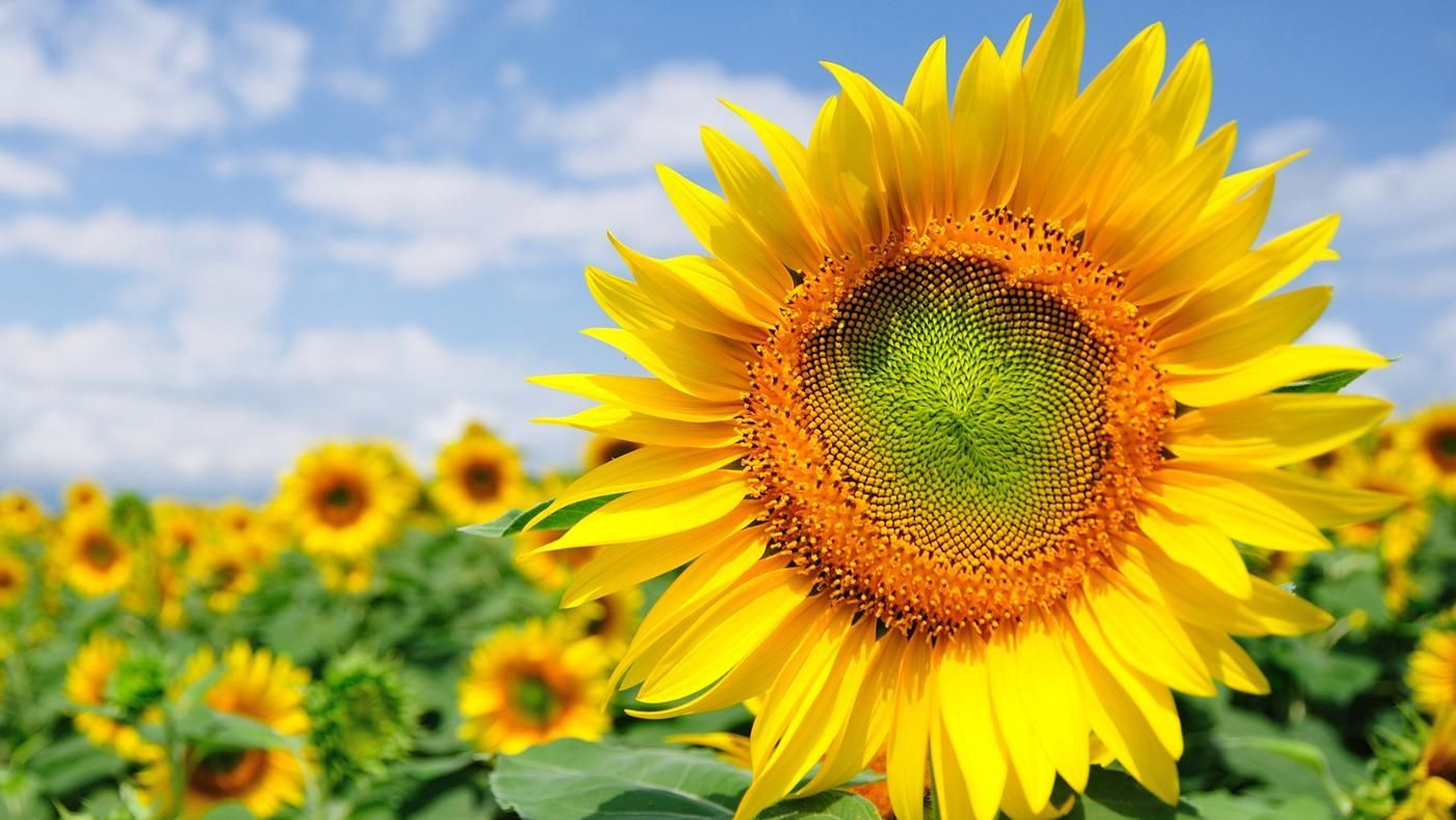 What Do Sunflowers Represent Reference Com