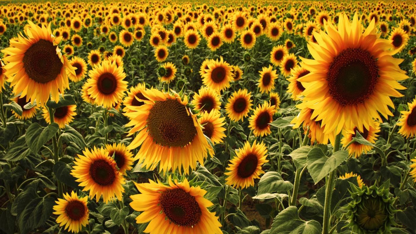 What Are Sunflowers Us...