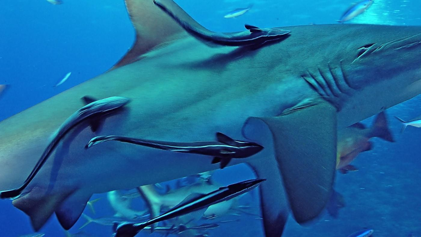 What Is The Symbiosis Between Remoras And Sharks
