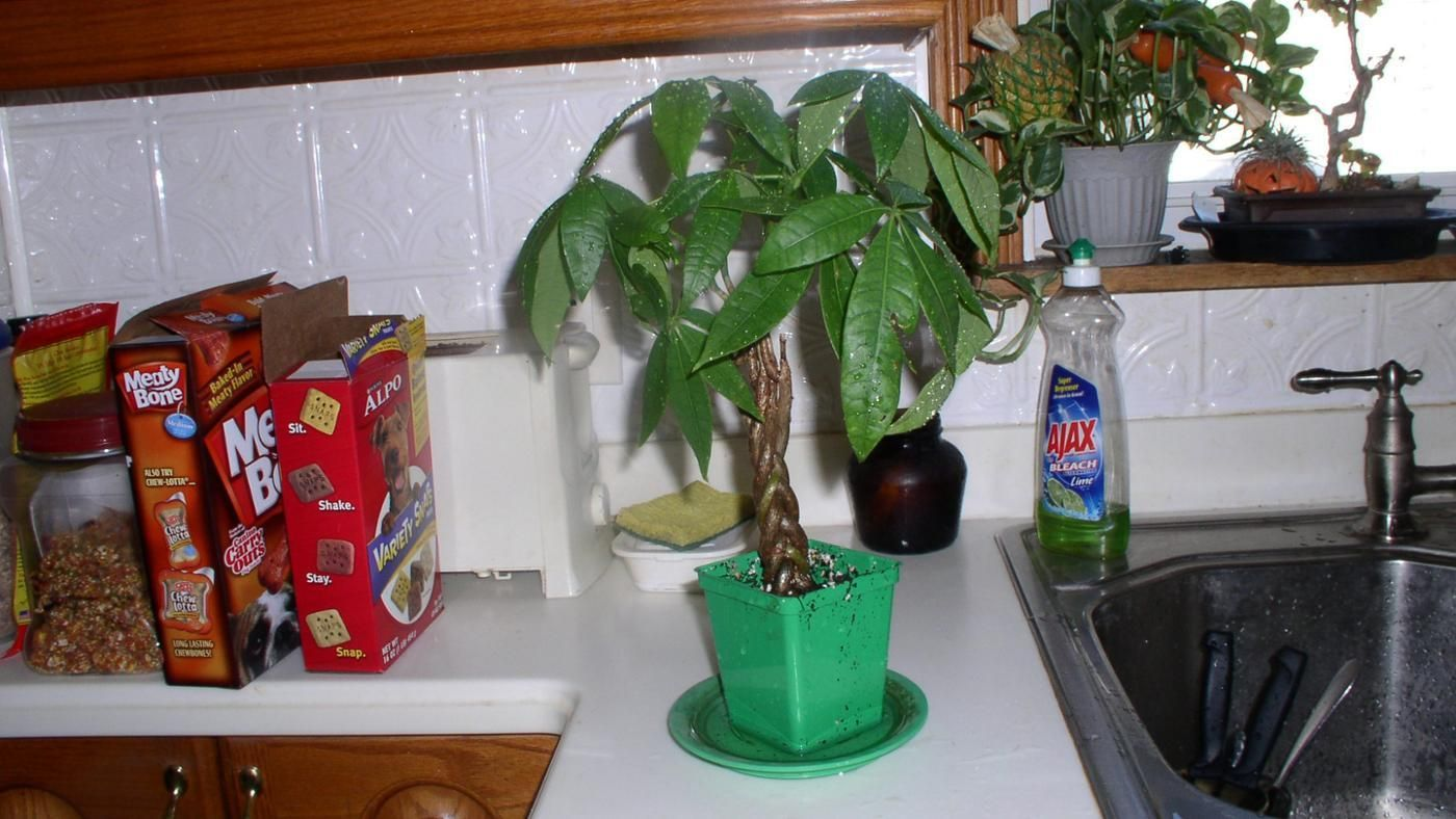 How to transplant a money tree 51