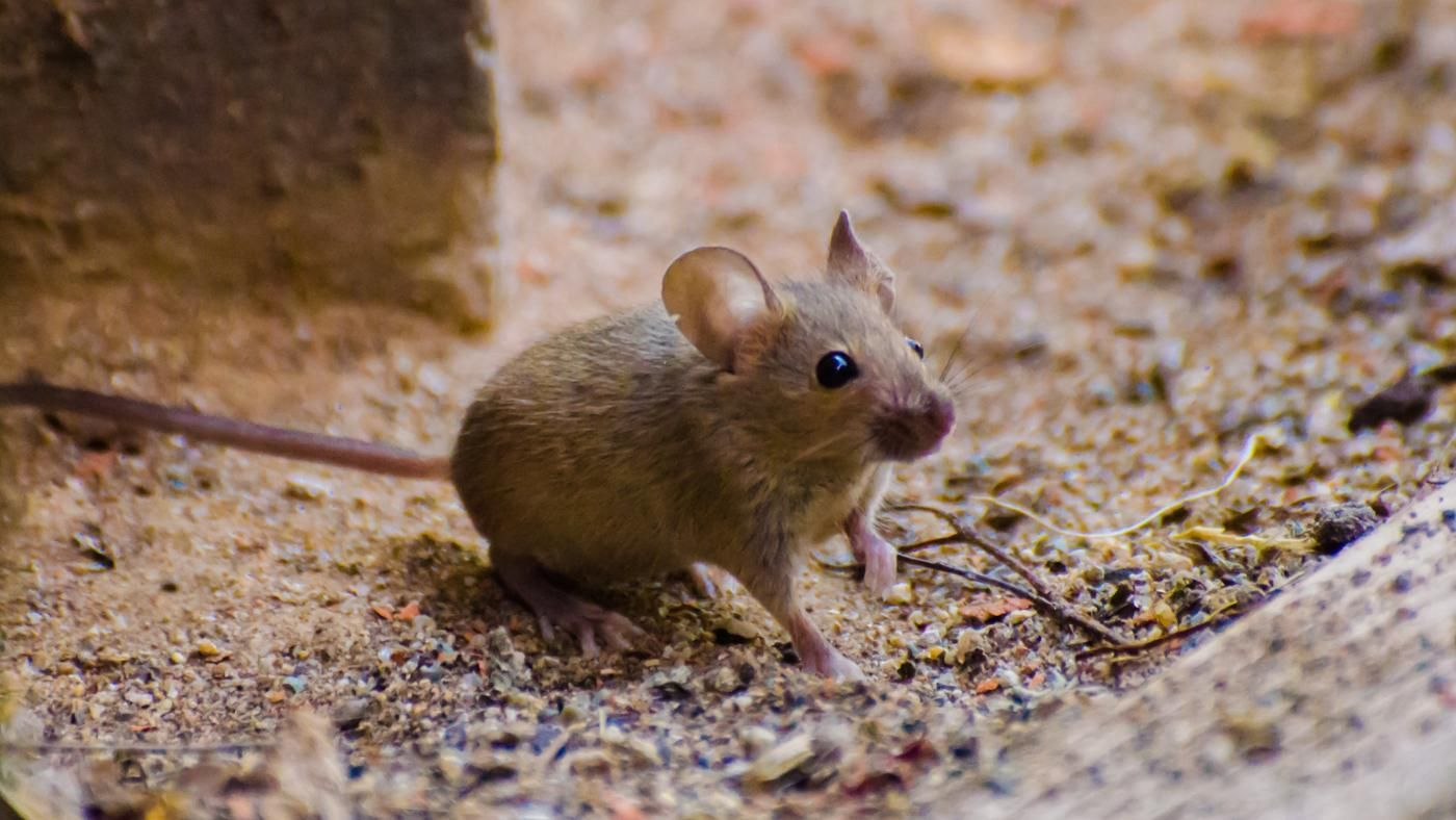 What Is The Treatment For A Mouse Bite Reference Com