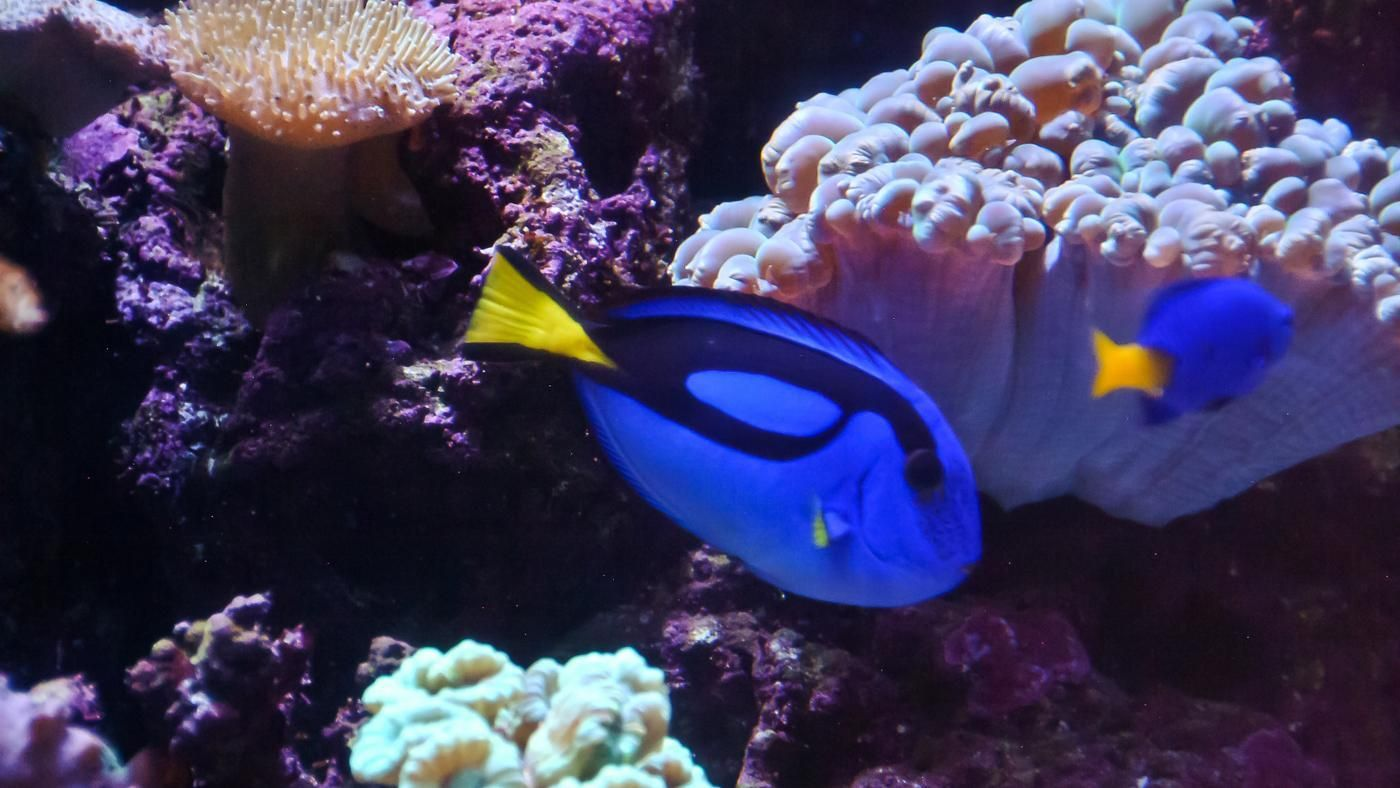What type of fish is dory from finding nemo for Finding nemo fish