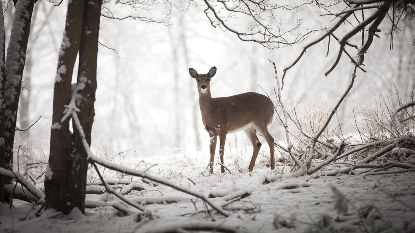 What Are Some Predators Of Deer Reference Com
