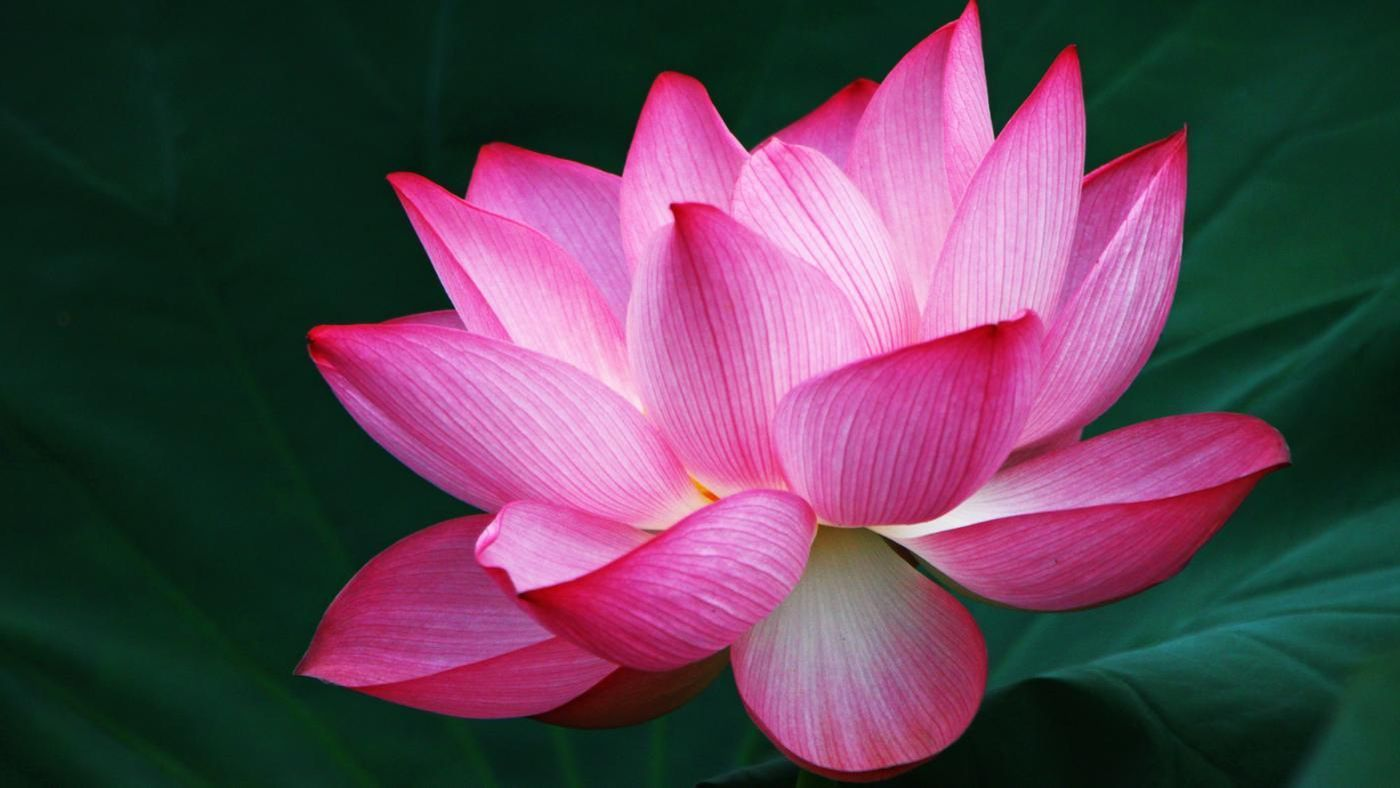 What Does The Lotus Flower Symbolize Reference