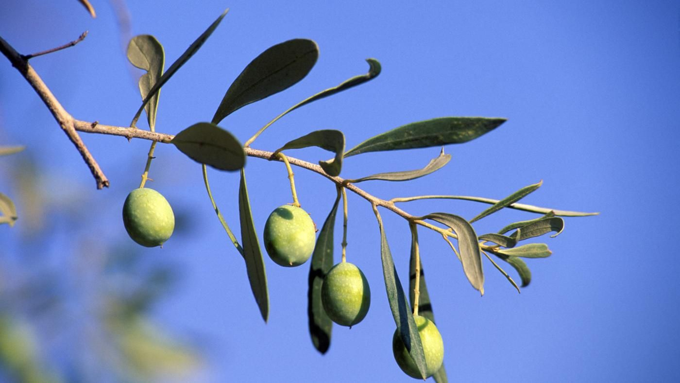 What does the olive tree symbolize reference biocorpaavc Image collections
