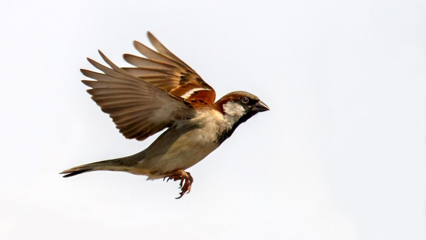 What does the sparrow symbolize reference biocorpaavc