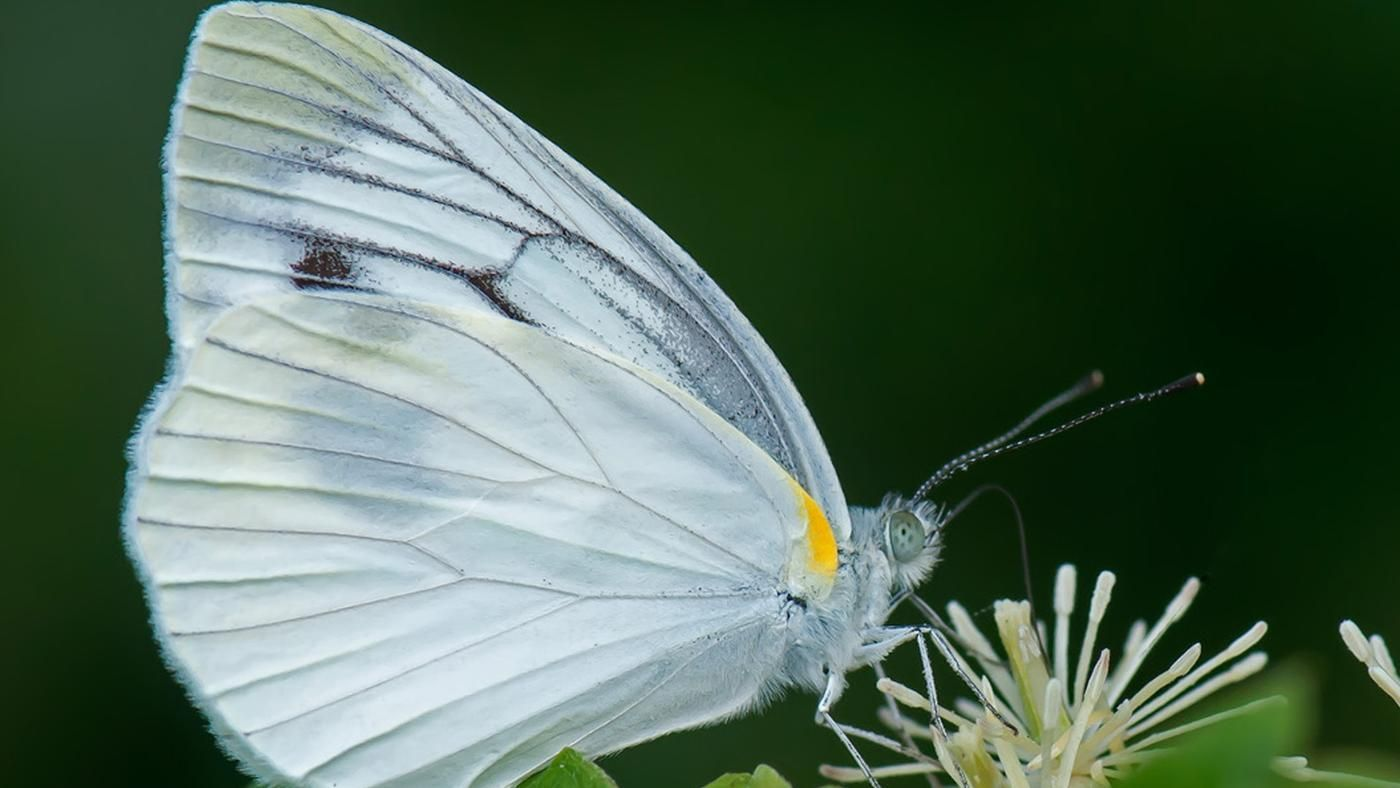 What does a white butterfly symbolize reference buycottarizona