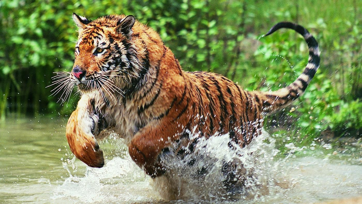 endangered species: bengal tiger essay Free essay: the bengal tiger the bengal tiger is a carnivorous, mammal  primarily from  tigers are a fascinating, and endangered, animal.