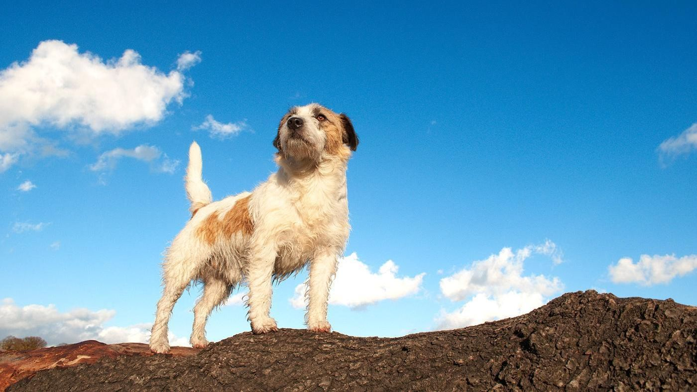 What Is a Wire-Haired Jack Russell Terrier?   Reference.com