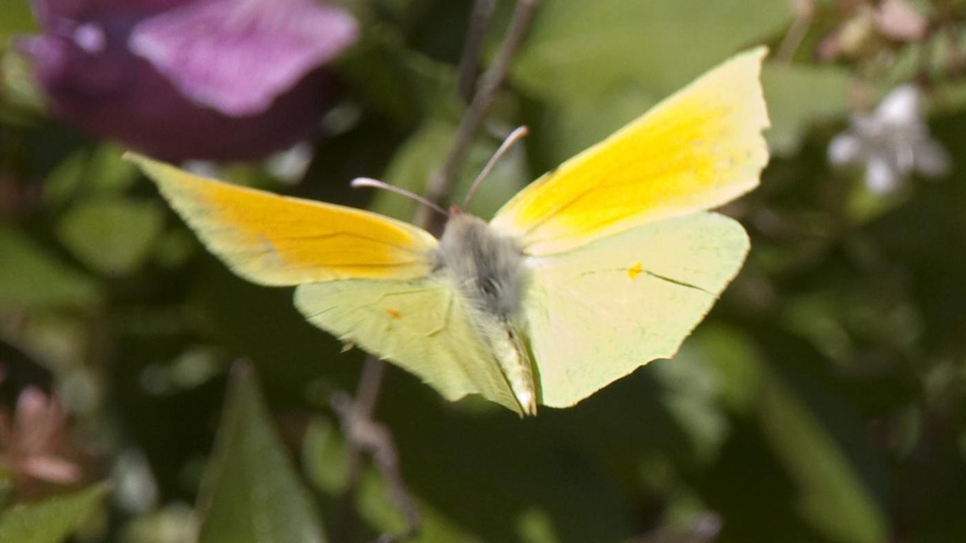 What does a yellow butterfly symbolize reference buycottarizona
