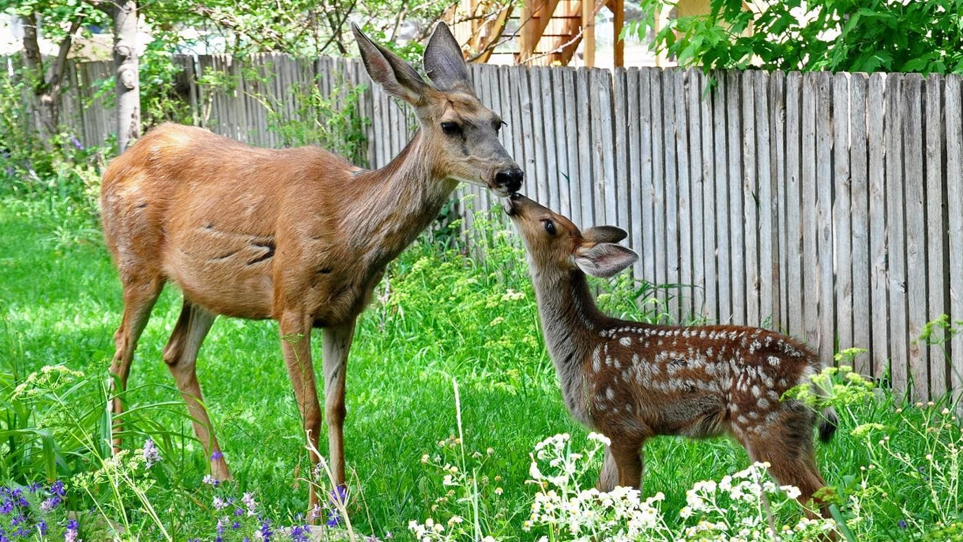 What Is A Young Deer Called Reference Com