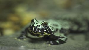 What Is the Fire-Bellied Toad's Habitat?
