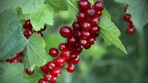 What do currants taste like?