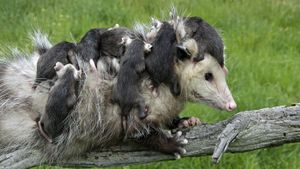 What Care Does a Newborn Opossum Need?