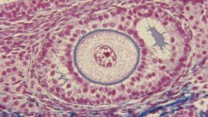 What Is a Normal Follicle Size?