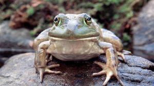 What Is a Bullfrog's Habitat?