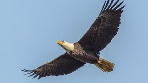 Do Bald Eagles Migrate?