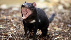 What Is a Tasmanian Devil Habitat Like?