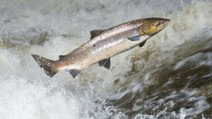 What Is a Wild Atlantic Salmon?