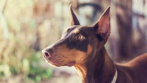 Why Are Doberman Ears Cropped?