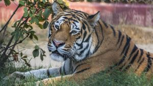 What are the advantages and disadvantages of tigers?