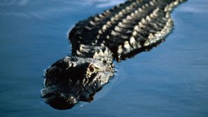 How Do Alligators Breathe Underwater?