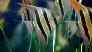 What Do Angelfish Eat?