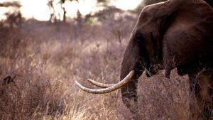 What Animals Are Being Poached in Africa?