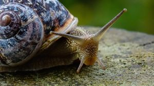 Do snails have the most teeth of any animal?