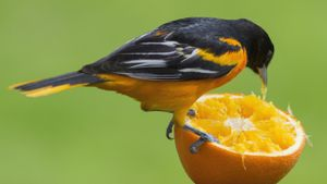 What Animals Eat Oranges?