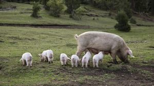 Approximately how many piglets does a sow have in a litter?