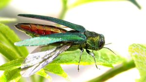 What is an ash borer beetle?
