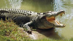 What Is the Average Life Span of a Crocodile?