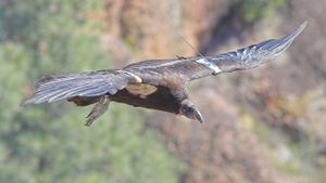 What Is the Average Wingspan of a California Condor?