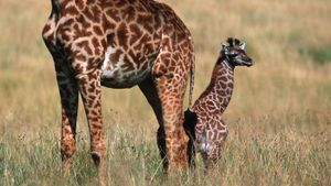 What are baby giraffes called?