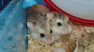 What are baby hamsters called?