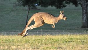 What Is a Baby Kangaroo Called?
