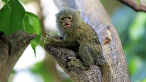 Why Do Baby Pygmy Marmosets Babble?