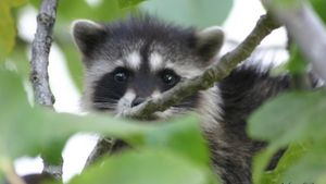 What do baby raccoons eat?