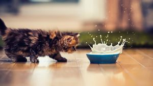 Why Is It Bad for Cats to Drink Milk?