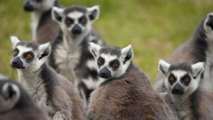 What Is the Behavioral Adaptation of the Lemur?