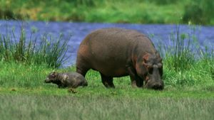 How Big Is a Baby Hippo?