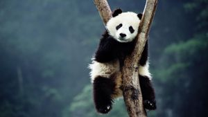 How Big Is the Giant Panda?
