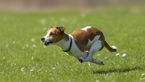 How big do miniature Jack Russell dogs get?